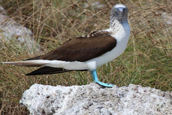 Blue Footed Booby at La Islas Marietas (Marieta Islands)